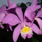 orquidea-1
